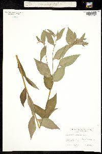 Image of Lithospermum latifolium