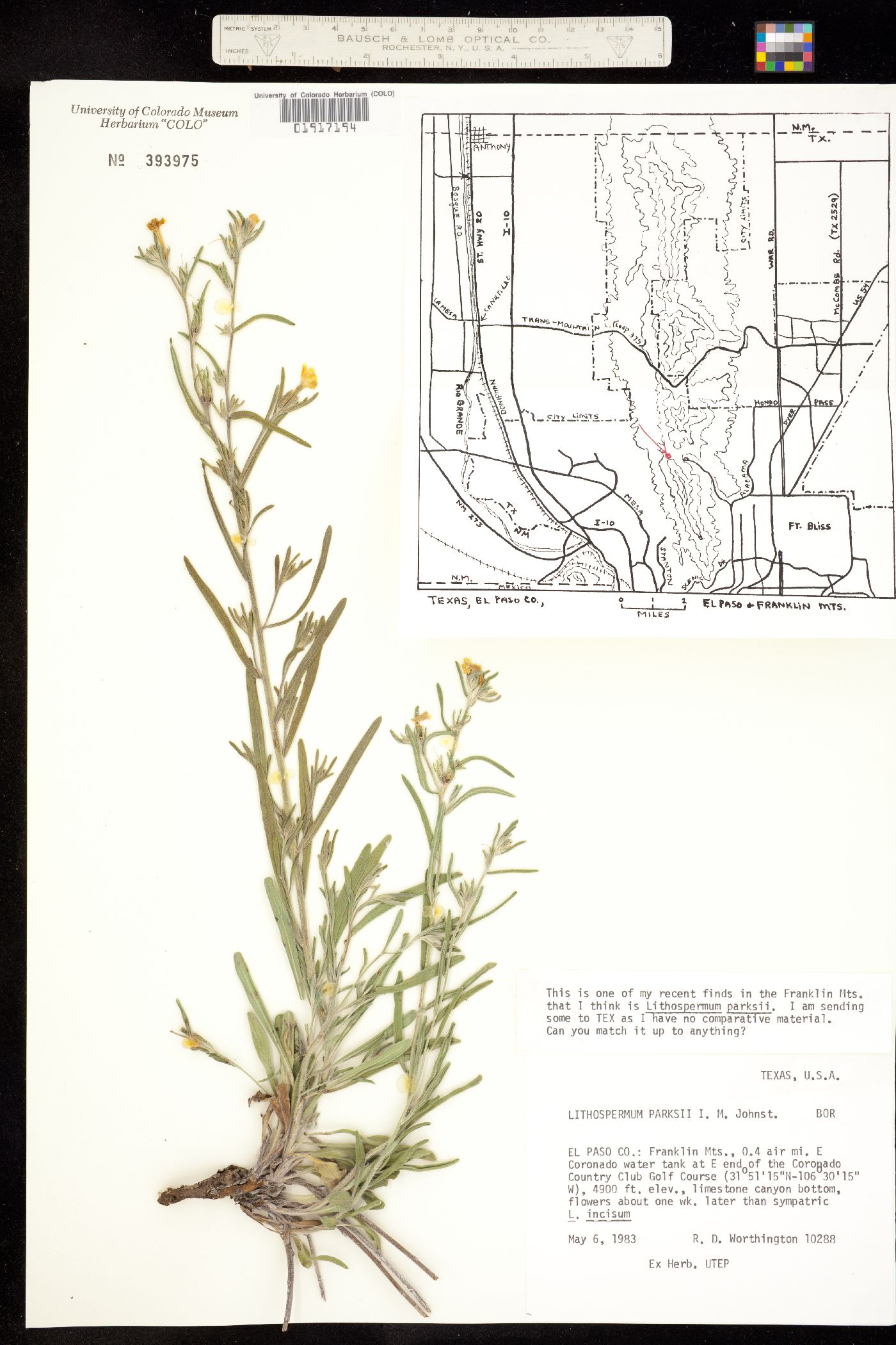 Lithospermum parksii image