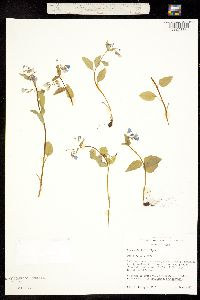Mertensia bella image