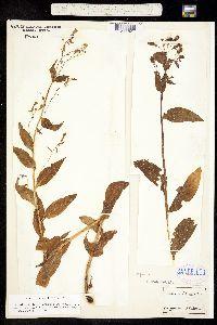 Image of Mertensia paniculata