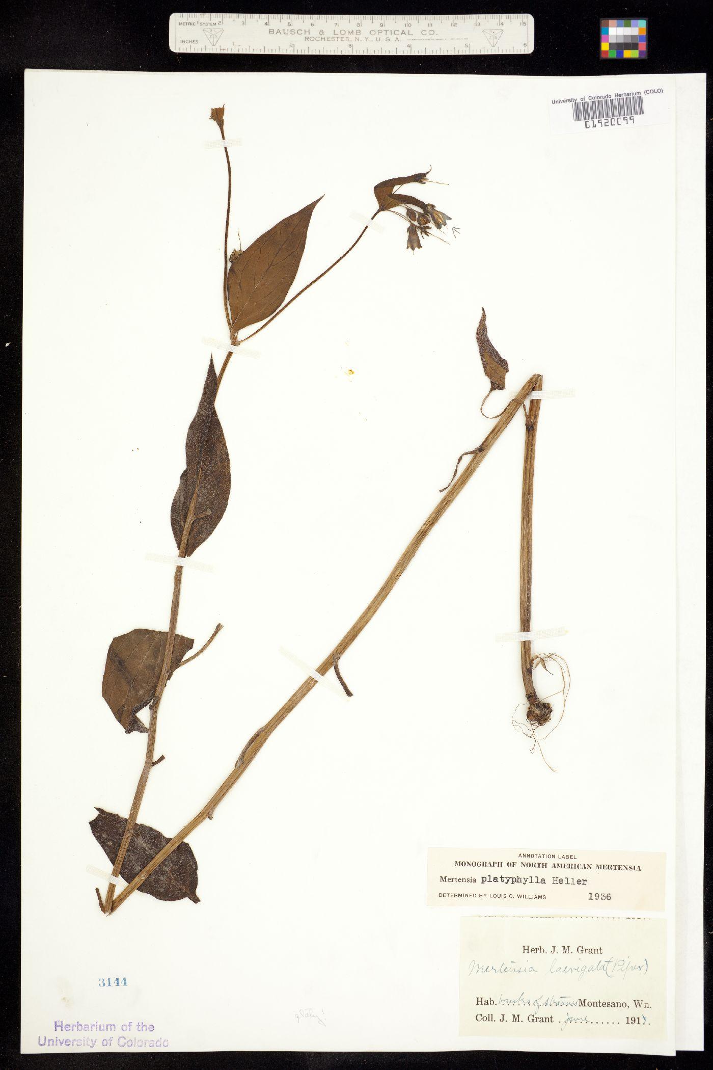 Mertensia platyphylla image