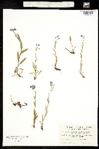 Myosotis asiatica image