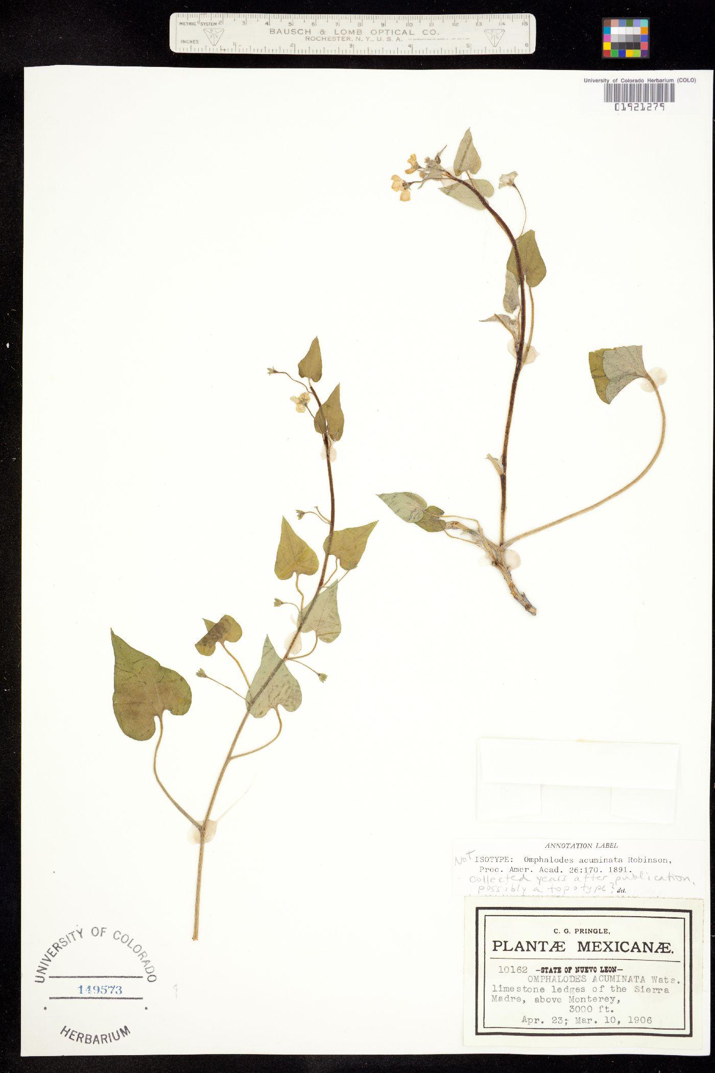 Omphalodes acuminata image