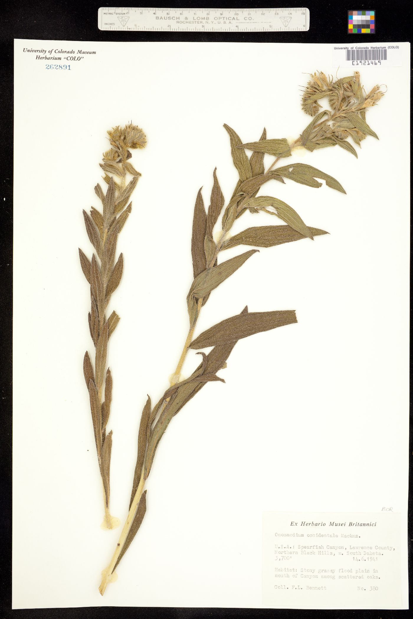 Onosmodium molle image