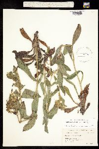 Image of Onosmodium helleri