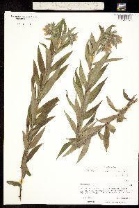 Image of Onosmodium strigosum