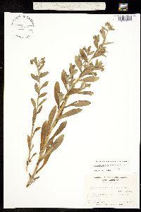 Image of Onosmodium virginianum