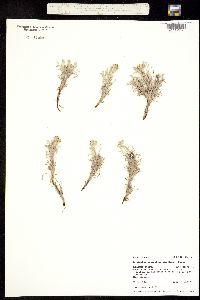 Cryptantha caespitosa image