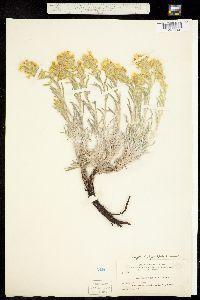 Cryptantha flava image