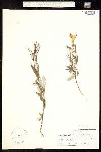 Macrosiphonia hypoleuca image