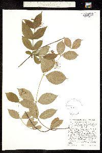 Thyrsanthella difformis image