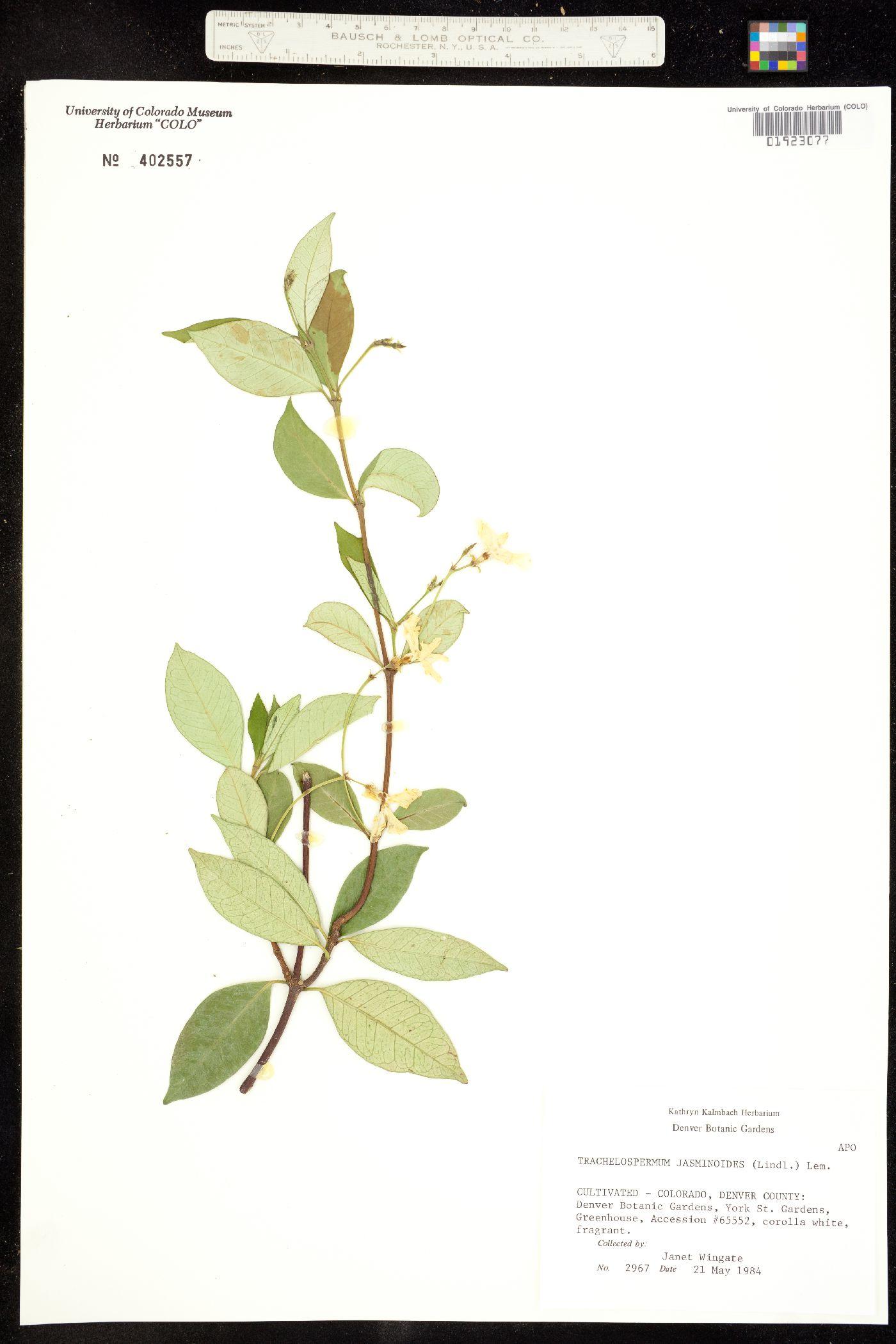 Trachelospermum jasminoides image