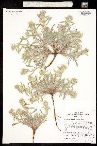 Oreocarya mensana image
