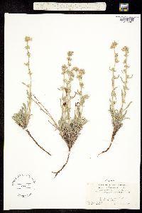 Image of Cryptantha nubigena