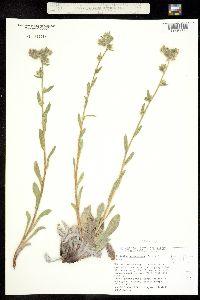 Cryptantha setosissima image