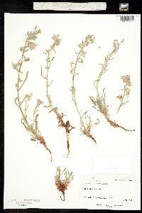 Oreocarya tenuis image