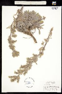 Cryptantha thompsonii image