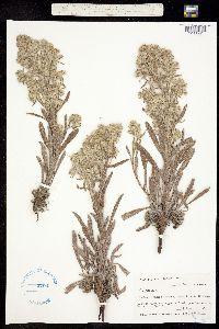 Cryptantha thyrsiflora image