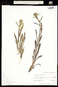 Image of Cryptantha crymophila