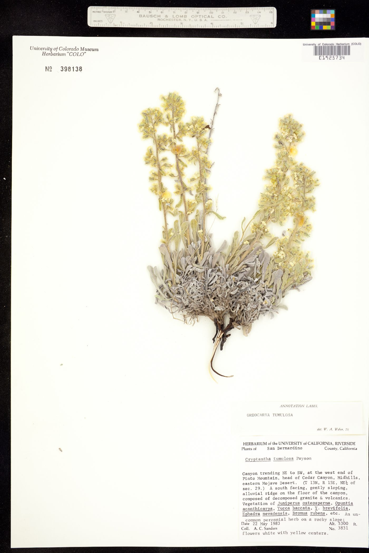 Cryptantha tumulosa image