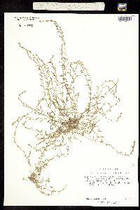 Image of Cynoglossum penicillatum