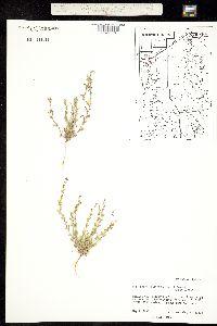 Pectocarya platycarpa image