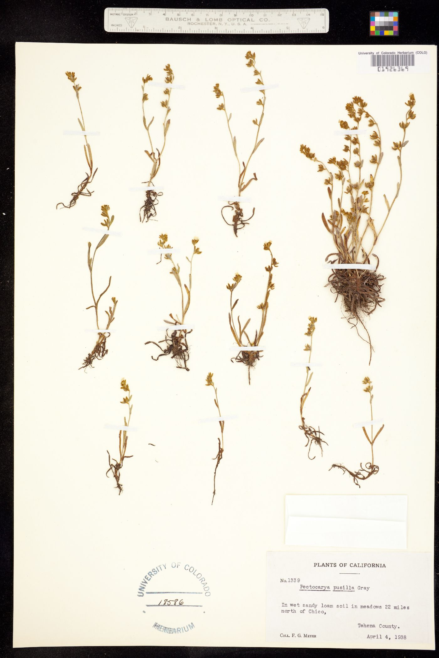 Pectocarya pusilla image