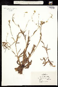 Plagiobothrys canescens image