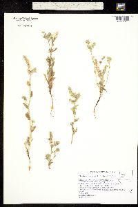 Plagiobothrys kingii image