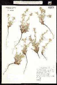 Image of Plagiobothrys kingii