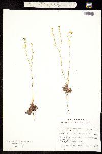 Plagiobothrys nothofulvus image