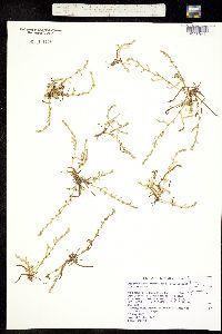 Plagiobothrys leptocladus image