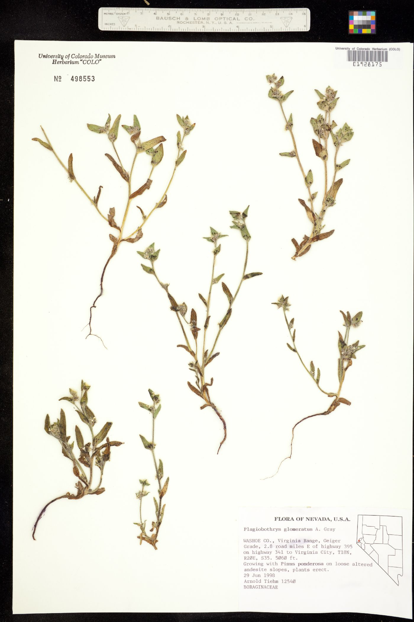 Plagiobothrys glomeratus image