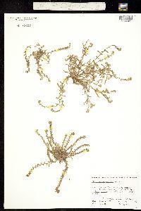 Plagiobothrys parishii image
