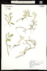 Plagiobothrys mollis image