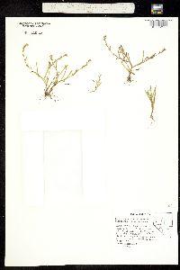 Plagiobothrys stipitatus image