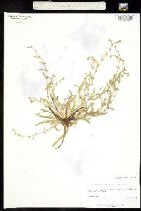 Plagiobothrys trachycarpus image
