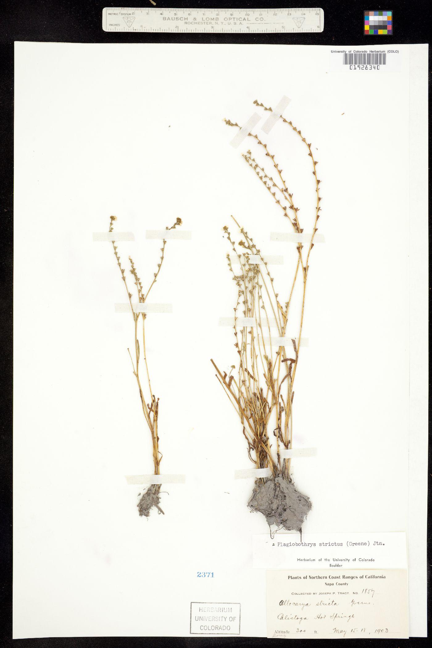 Plagiobothrys strictus image