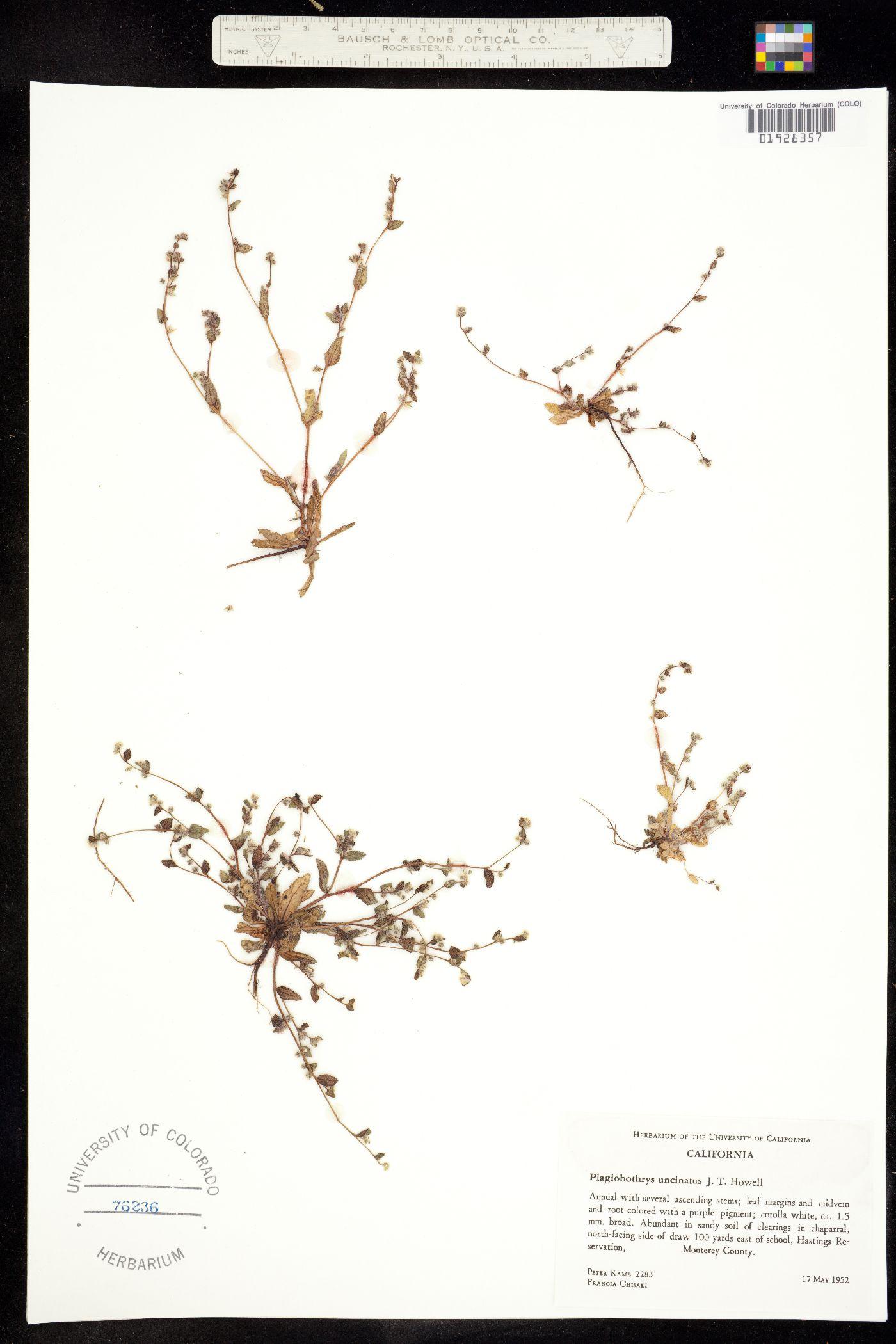 Plagiobothrys uncinatus image