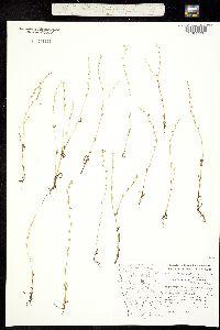 Plagiobothrys figuratus image