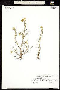 Image of Plagiobothrys figuratus