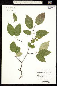 Image of Amelanchier arborea