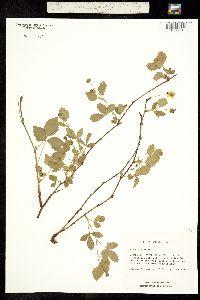 Image of Rubus flagellaris
