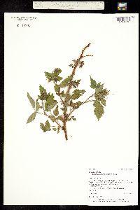 Image of Rubus idaeus