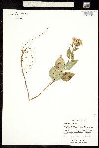 Image of Aster macrophyllus