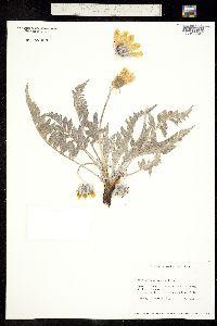 Image of Balsamorhiza incana