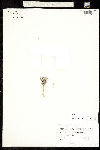 Townsendia aprica image