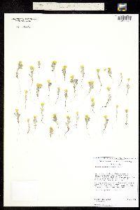Syntrichopappus fremontii image