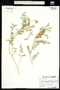 Image of Astragalus bolanderi