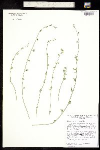Image of Hosackia glabra